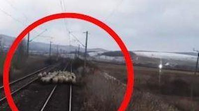 Xe lửa dừng giữa chuyến vì đàn cừu tụ tập trên đường ray