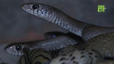 Đột nhập trại rắn hổ trâu bạc tỷ của 8X Hà thành