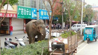 Voi rừng bất ngờ xuất hiện trên phố ở Trung Quốc, phá nát 9 ô tô