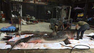 Mổ bụng cá mập trắng, xót xa với cảnh này bên trong