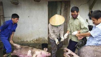 Bắc Ninh: Lợn chết la liệt vì dịch tả, thú y thiếu người tiêu hủy