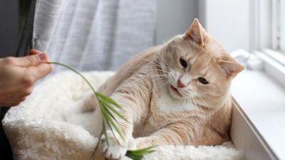 Hành trình giảm cân của mèo béo ú truyền cảm hứng
