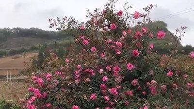 Cây hoa hồng khổng lồ nở nghìn bông, 150 triệu không bán