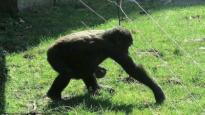 Khỉ đột thông minh cả gan vượt rào điện để... chào khách tham quan