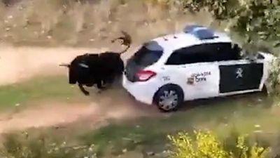Bò mộng trốn khỏi trang trại, húc như điên vào xe cảnh sát