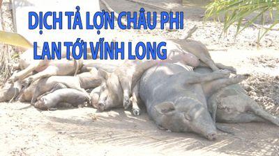 Heo nằm chết đầy vườn giữa mùa dịch tả lợn Châu Phi bùng phát