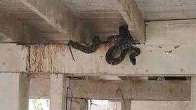 Hoảng hốt khi phát hiện con trăn cuộn mình ẩn náu dưới nền nhà