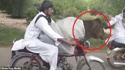 Clip: 'Dân chơi' lái xe máy chở bò đi dạo phố thu hút mọi ánh nhìn