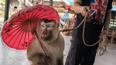 Nỗi ám ảnh cảnh dạy động vật làm xiếc, phục vụ du lịch ở Thái Lan