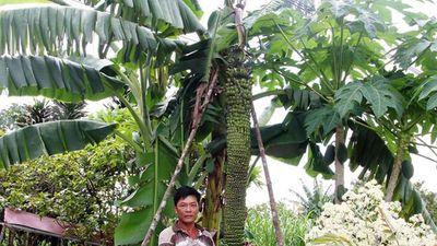 Chiêm ngưỡng cây chuối 'khổng lồ' có hơn 100 nải