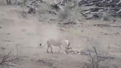 CLIP: Lợn lòi được sư tử đực cứu mạng khi rơi vào nanh vuốt của 2 con sư tử cái
