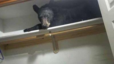 Gấu đen làm khách không mời, ở lì trong tủ quần áo