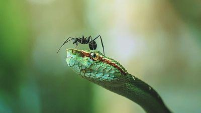 Kiến đen ra chiêu, rắn lục ma mãnh ung dung như không