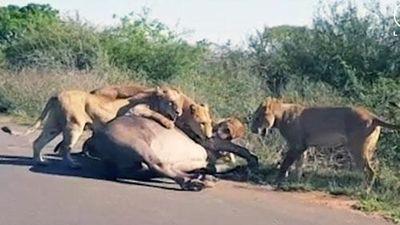 CLIP: Bầy sư tử hợp sức đoạt mạng trâu rừng