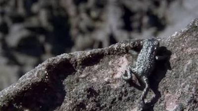 Cóc mưu trí lăn tự do xuống vách đá để trốn nhện săn mồi