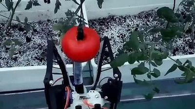 Robot hái quả mềm làm việc 20 tiếng một ngày