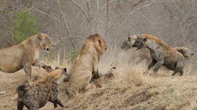 Bị sư tử 'đánh đập' tơi tả, linh cẩu liền kéo quân tới trả thù