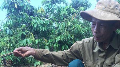 Theo chân người dân vào rẫy cà phê săn lùng loài vật nhỏ xíu nhưng cực độc