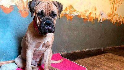 Bị chủ bỏ rơi, chú chó vẫn trung thành vượt 200km tìm đường trở về