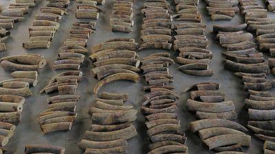 Singapore chặn bắt gần 9 tấn ngà voi trên đường đến Việt Nam