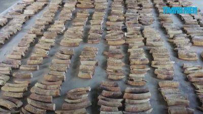 Singapore bắt lô hàng ngà voi, vảy tê tê kỷ lục trên đường đến Việt Nam