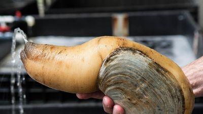 Cách chế biến ốc vòi voi khổng lồ giá 150 USD giữ nguyên hương vị