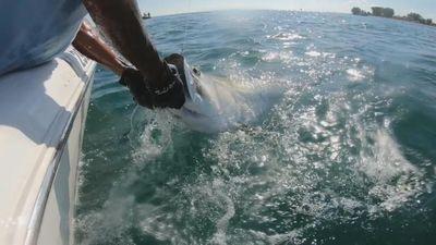Cá mập đầu búa 'quái vật' cướp mồi khổng lồ trên tay cần thủ