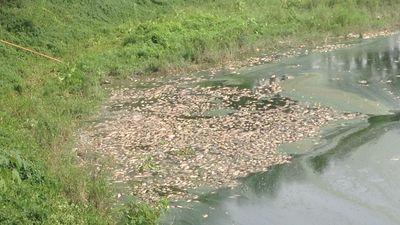 Cá chết trắng hồ công viên Yên Sở được đưa đi đâu?