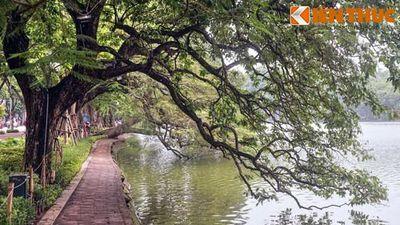 Dãy cổ thụ vươn mình xuống nước 'có 1-0-2' ở Hà Nội