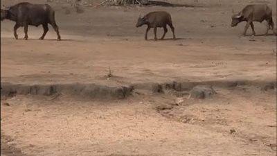 CLIP: Chạm mặt trâu rừng, báo săn vội vàng bỏ chạy