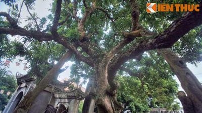 Tận mục cây nhãn Tổ 300 tuổi, quả ngọt thơm như 'nước thánh'