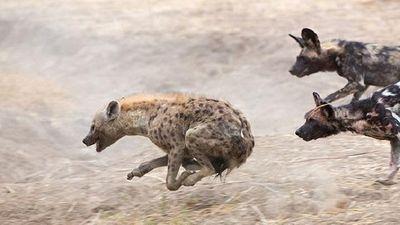 Tình thế vô cùng nguy khốn, linh cẩu vẫn thoát hiểm thần kỳ khỏi bầy chó hoang