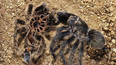 Quá trình lột xác kinh dị của loài nhện Tarantula