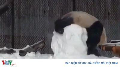 Cười nghiêng ngả với chú gấu trúc vụng về khi nghịch tuyết