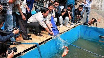 Cá Koi ở sông Tô Lịch chết sau vài ngày, lắp thêm camera bảo vệ cá 24/24