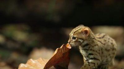 Những điều chưa biết về mèo đốm gỉ - loài mèo hoang dã nhỏ nhất thế giới