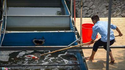 Mời chuyên gia thủy sản kiểm tra 1 con cá Koi chết ở sông Tô Lịch