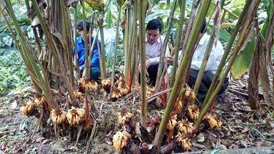 Thu tiền trăm tỷ nhờ cây thảo quả