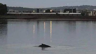 Cá voi lưng gù dài 10 m bơi lạc vào sông