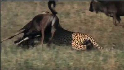 CLIP: Bị báo săn cắn gãy lìa chân, linh dương đầu bò vẫn thoát chết