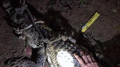 CLIP: Thu giữ con cá sấu lẻn vào nhà người dân ở Tân Uyên