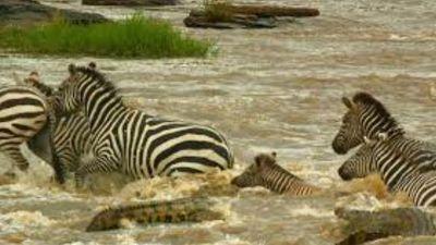 Ngựa vằn thoát chết thần kỳ khi leo lên lưng cá sấu vượt sông