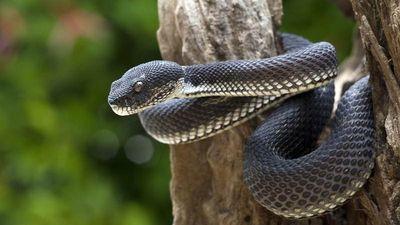 'Tội đồ' phóng sinh không ít rắn độc, dân làng chết thảm...
