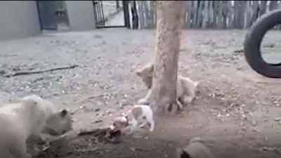 CLIP: Chú chó đại chiến đàn sư tử và cái kết bất ngờ