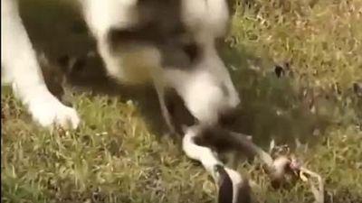 CLIP: Rắn hổ mang đại chiến đàn chó nhà