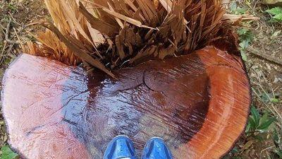 Đột nhập 'công trường' gỗ vừa bị 'lâm tặc' đốn hạ trong cánh rừng Mang Yang