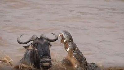 CLIP: Linh dương đầu bò thoát chết thần kỳ khi bị cá sấu tấn công