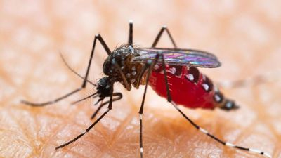 Làm sao để xóa sổ loài muỗi?