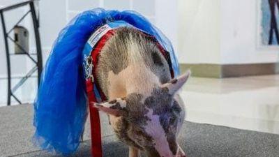 Lợn chơi đàn ở sân bay giúp hành khách bớt căng thẳng