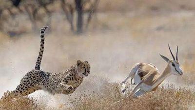 Báo săn đoạt mạng linh dương Thomson trong chớp mắt